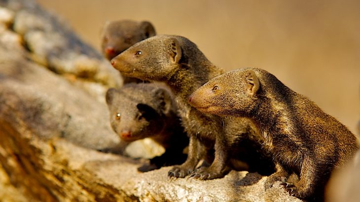 According to a new study, dwarf mongooses become more cooperative and work closely together when faced with potential violence from rival groups.