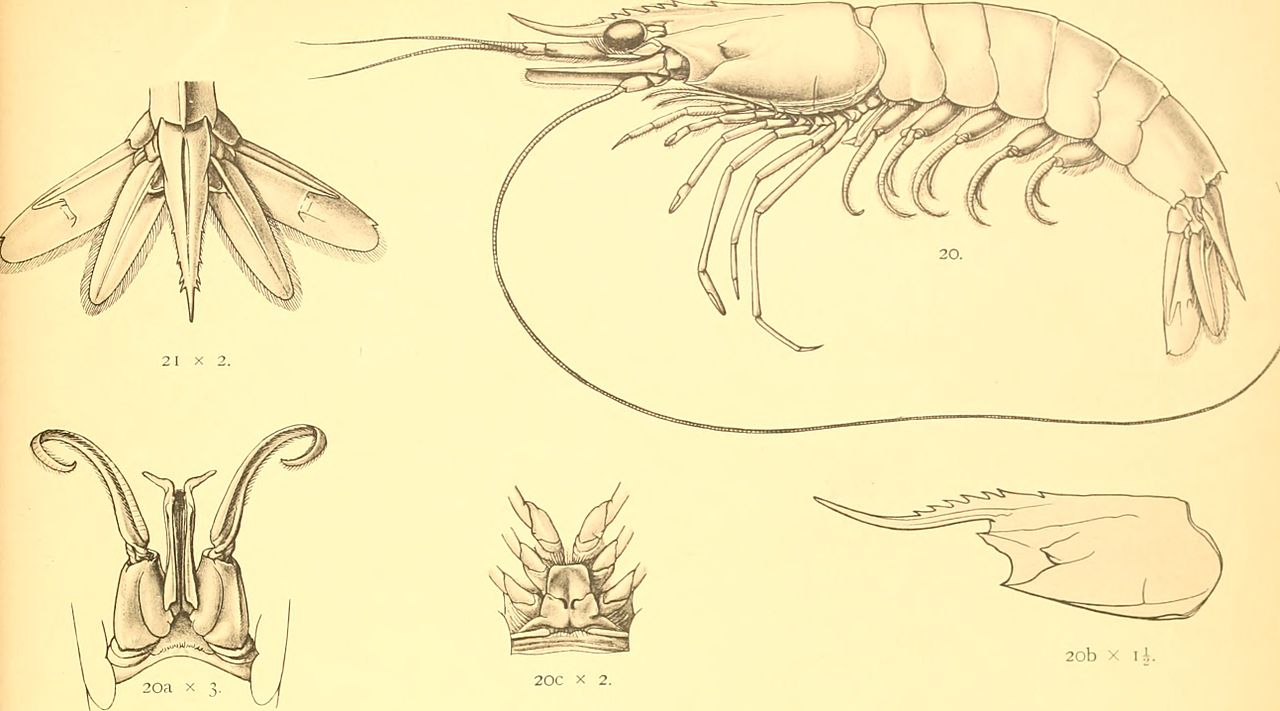 Drawingd of decapods from early scientific descriptions