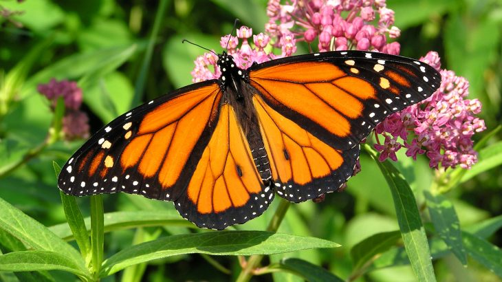 Well-meaning conservationists breeding monarch butterflies indoors and releasing them into the wild could be doing more harm than good.