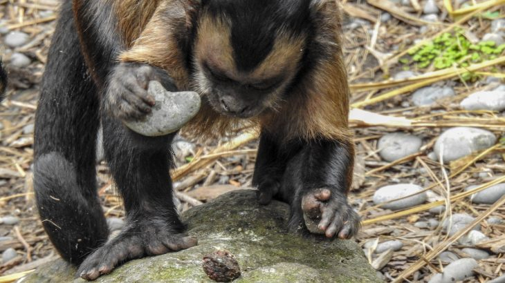 "New research from archaeologists in Brazil has found that Capuchin monkeys appear to be about 3,000 years into their own ""Stone Age."""