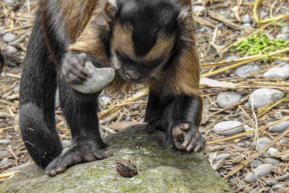 """New research from archaeologists in Brazil has found that Capuchin monkeys appear to be about 3,000 years into their own """"Stone Age."""""""