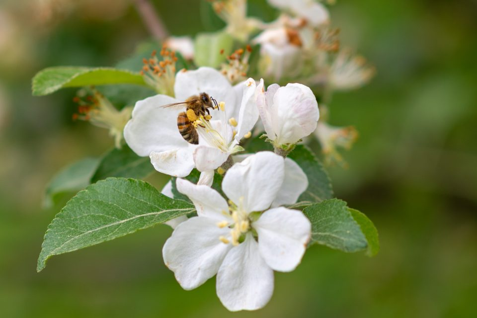 A new study has revealed that honeybees from apiaries may be spreading viral infections to wild bumblebees.
