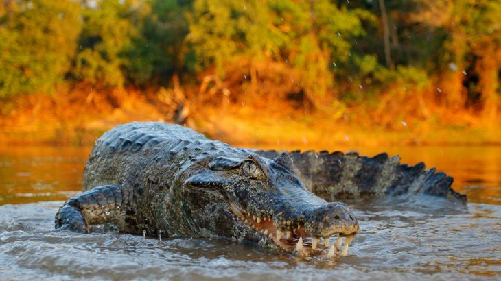 Based on the detailed analysis of tooth remains, researchers have discovered that some ancient crocodilians were herbivores.
