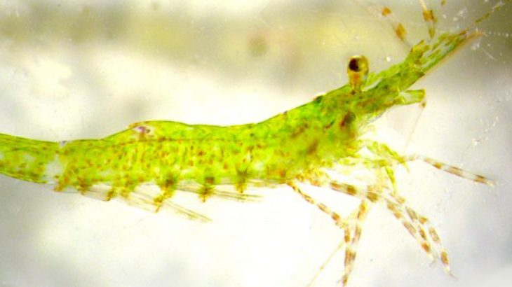 When raised on marine algae grown in acidic water, Hippolyte inermis shrimp do not undergo the necessary sex change that is pertinent to their reproductive cycle.