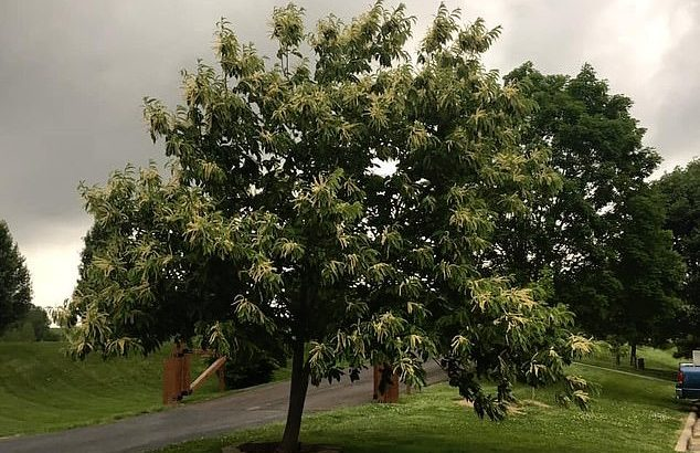 The Ozark chinquapin chestnut tree was thought to be extinct, wiped out in the mid-1900s by the chestnut blight. But it may be on the verge of a comeback.