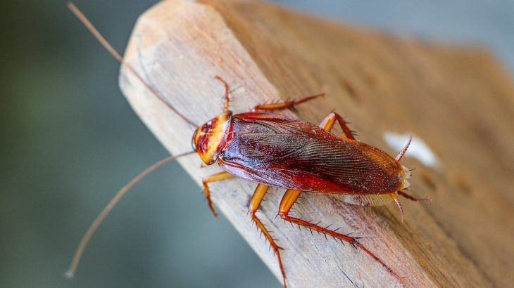 New research has now found that some types of cockroaches are developing a resistance to insecticides making them even more difficult to kill.