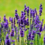 lavender growing an herb garden