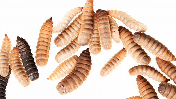 """A new report from the Washington Post describes how the harvesting of black soldier fly larvae has the potential to """"revolutionize the way we feed the world."""""""