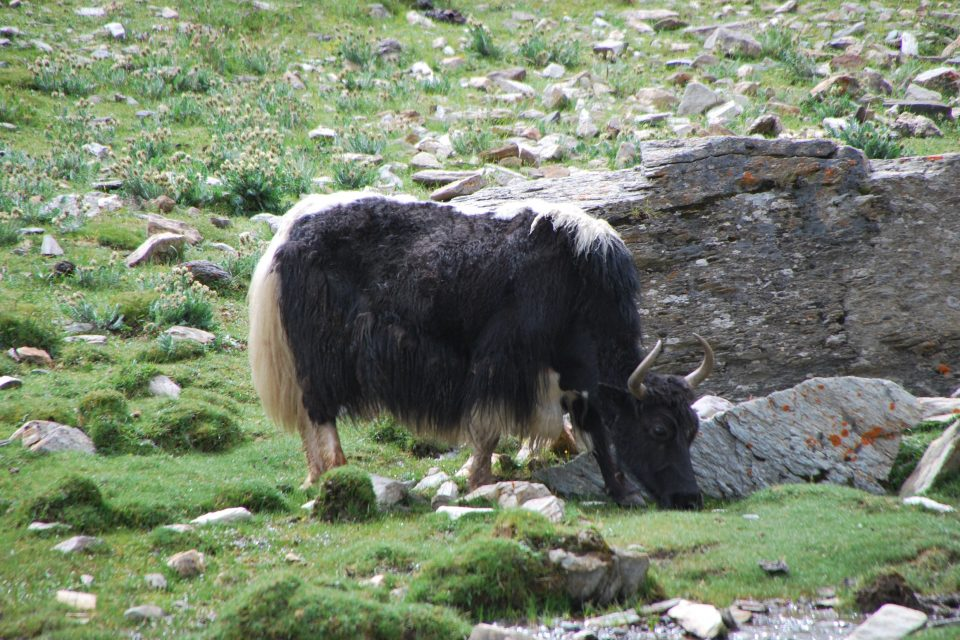 A new study has found that without the help of grazing animals, plant domestication may not have been possible.