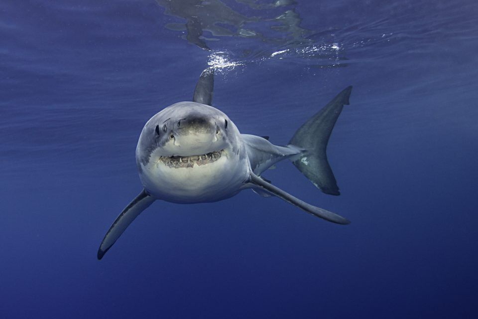 Researchers at the University of Vienna have traced back the origin of great white sharks to a small benthic shark from the Middle Jurassic that lived 165 million years ago.