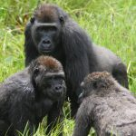 Gorillas have a far more complex social structure than previously realized, and a new study has discovered many parallels between human societies and gorilla families.