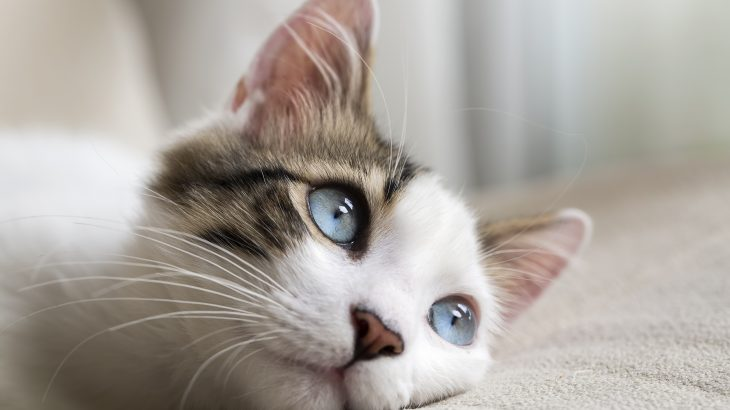 Since the first case of feline hyperthyroidism was diagnosed in 1979, it has become the most common endocrine-related disease found in older cats.