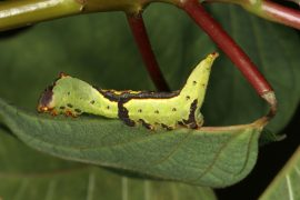The moth caterpillar secretes an acid from special glands which prevents plants like the poinsettia from secreting latex stored in special canals in their leaves.