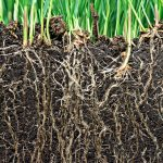 Researchers at the Salk Institute have discovered a gene that determines how far that plant roots will grow into the soil.