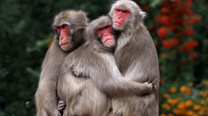 A new study from Kyoto University has revealed that the red faces of female Japanese macaques signal information about their social rank, rather than about their reproductive status.