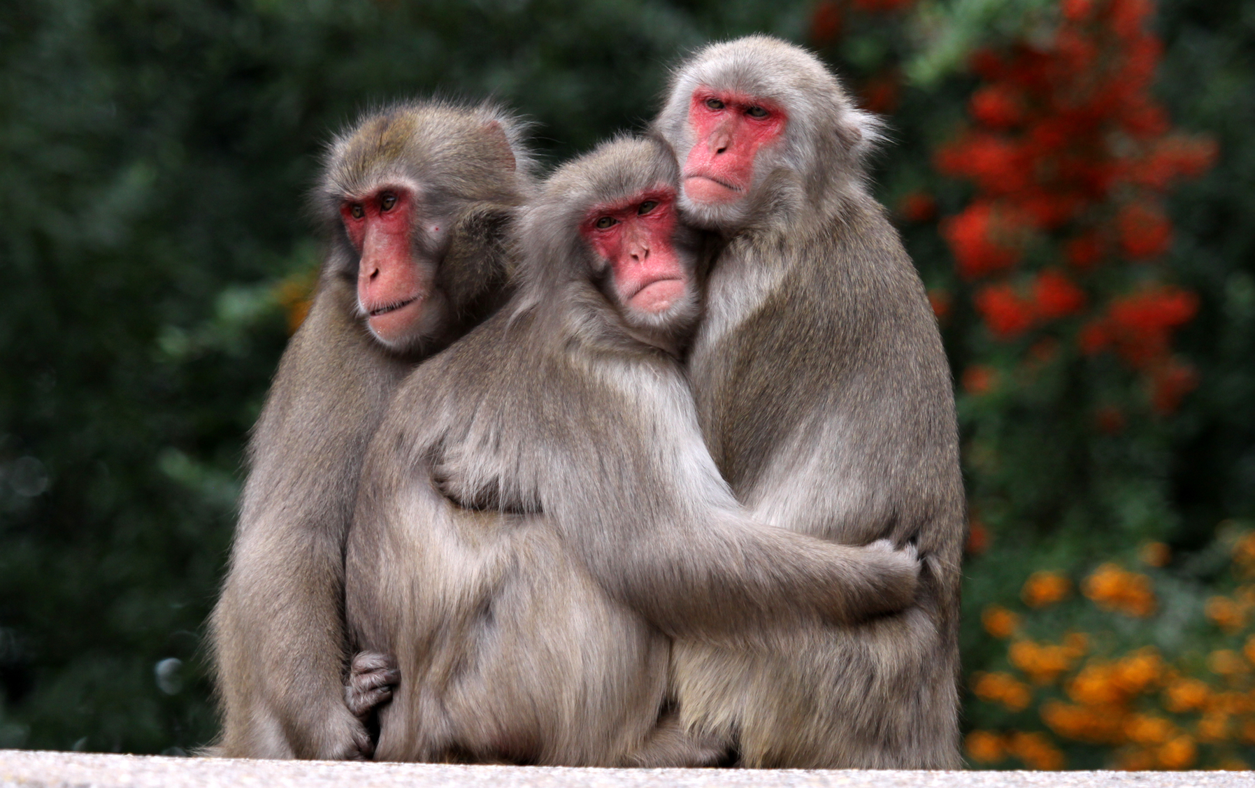 Female Japanese Macaques Use Red Coloration To Signal Their Social Rank  Earthcom-7891