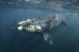 A new study from Aarhus University is describing how southern right whale mothers and calves communicate in the cloudy waters where they hide from predators