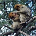 Scientists have witnessed, for the first time, the adoption of an injured juvenile by Barbary macaques.