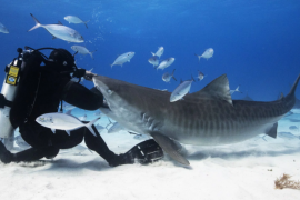 A new documentary sets out to prove that sharks' bad reputation isn't entirely deserved. (Image credit: Devon Massyn, National Geographic)