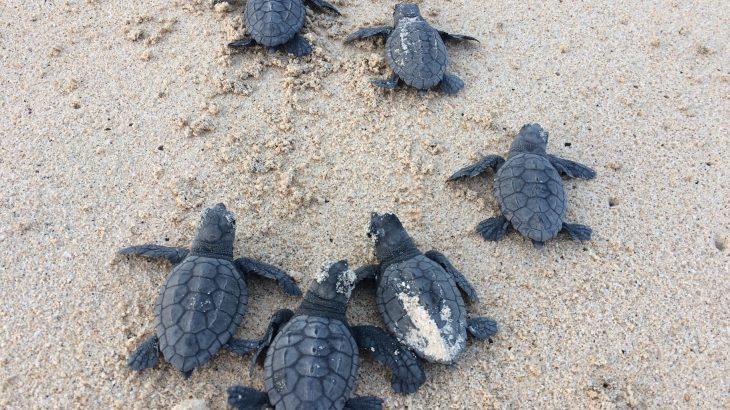 Rising temperatures caused by climate change could thwart male Cape Verde loggerhead turtles from hatching at a key breeding ground by the end of the century.
