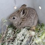 It seems that a mix of an over-friendly bias towards grazing as well as an incompetent misunderstanding of Columbia Basin pygmy rabbit diet led to the extinction of the population.