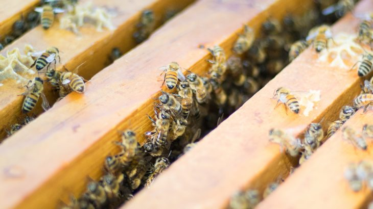 Beekeepers that hold large clusters of bees in close proximity to each other are not increasing the risk of diseases spreading, according to a new study.