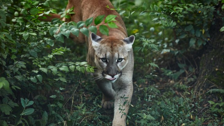 When humans are around, pumas, opossums and other medium-sized carnivorous predators hide away, keeping their movement and activity to a minimum.