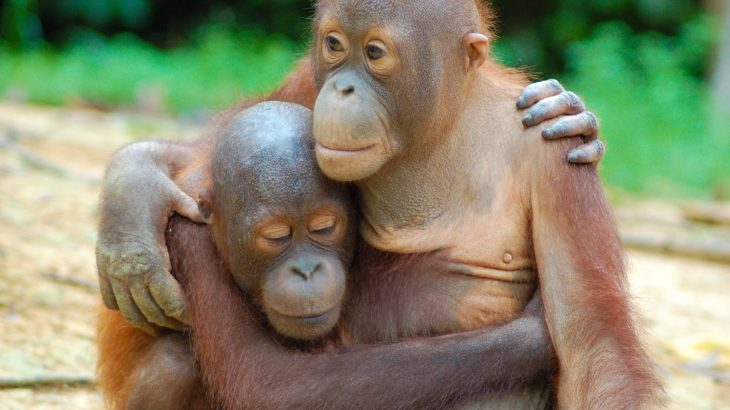 While Bornean orangutan populations within well-managed forests are stable, they have declined in areas near major oil palm plantations.