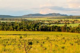 Home to jaguars, giant armadillo, the endangered maned wolf, and over 10,000 species of plants, the Cerrado is one of the largest savannas in South America.