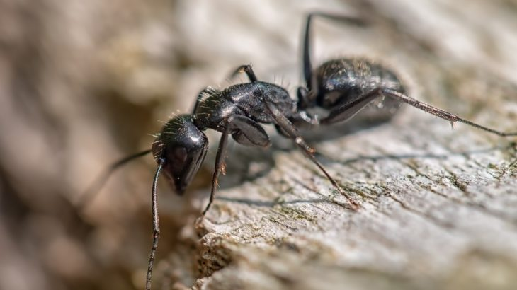 Once infected, carpenter ants will isolate themselves and climb a tall blade of grass, leaf or twig, and latch onto the vegetation with its mandibles until it dies.