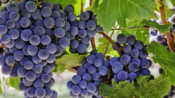 A popular plant extract found in grapes and red wine could help Mars explorers stay strong during the nine-month journey from Earth to the Red planet.