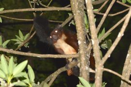 The individual was initially classified as a Namdapha flying squirrel, a species that is critically endangered due to hunting and habitat loss.