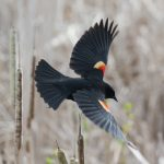 According to a report in the Denver Post, red-wing blackbirds have been randomly swooping down and attacking walkers and joggers near Sloan's Lake.