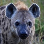 A new study published by Cell Press has demonstrated that images captured by tourists on safari contain valuable wildlife monitoring data.