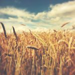 A recent report in ACS'Journal of Agricultural and Food Chemistryindicates that significantly higher CO2 levels could increase wheat yield but may decrease nutritional quality.