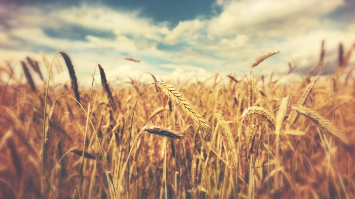 A recent report in ACS' Journal of Agricultural and Food Chemistry indicates that significantly higher CO2 levels could increase wheat yield but may decrease nutritional quality.
