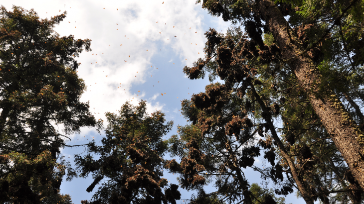 Every year in the fall, millions of North American monarch butterflies travel thousands of miles to the same overwintering sites in central Mexico and along the coast of California