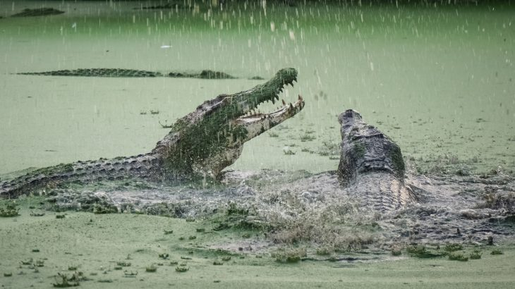 A look at the history of crocodilian attacks and conservation in the US and abroad, and how habitat destruction increases the likelihood of confrontations with crocodiles.