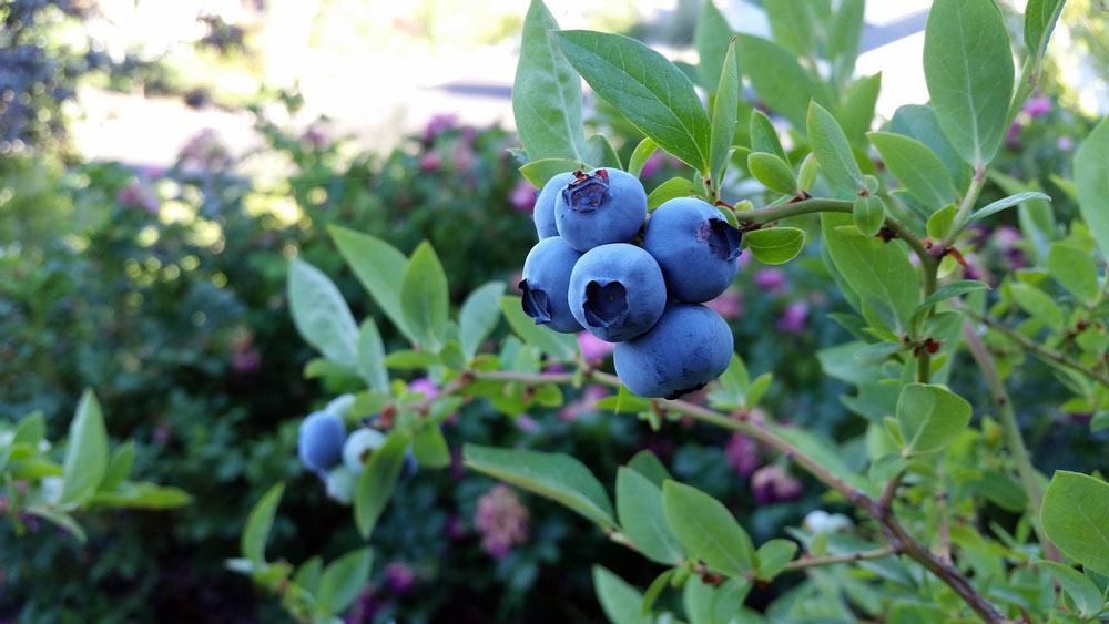 identify fruit plants blueberry bush