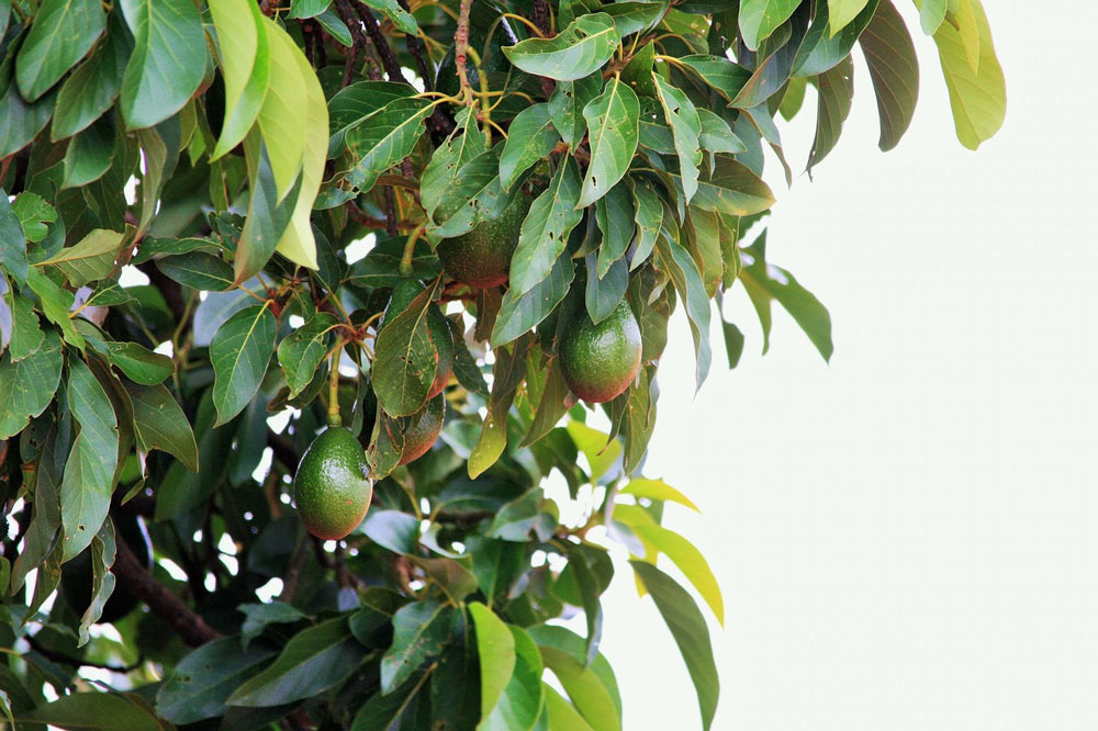 avocado tree fruit plant