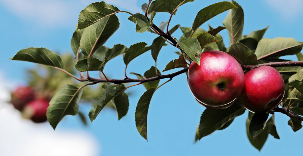 identify fruit plants apple tree