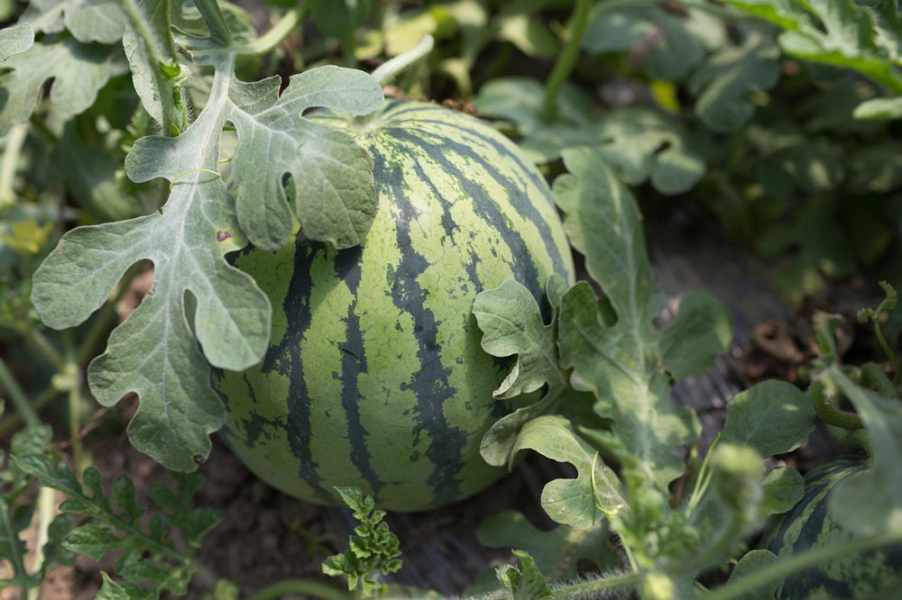 watermelon plant fruit vine