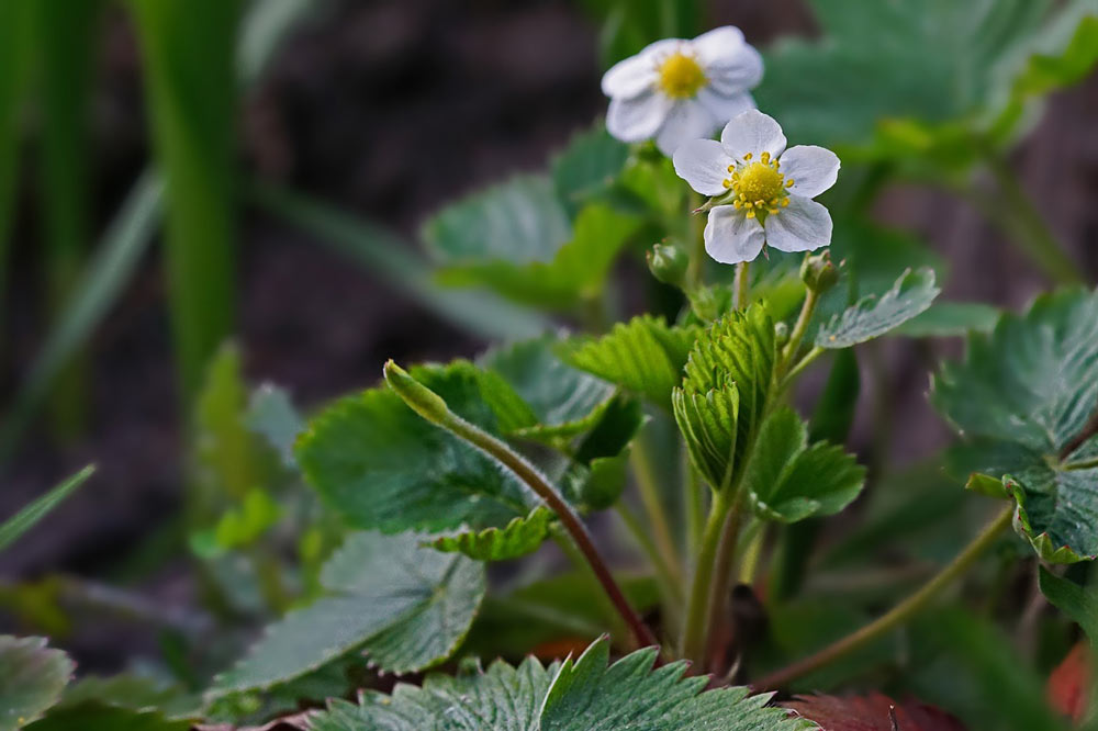 strawberry plant herb