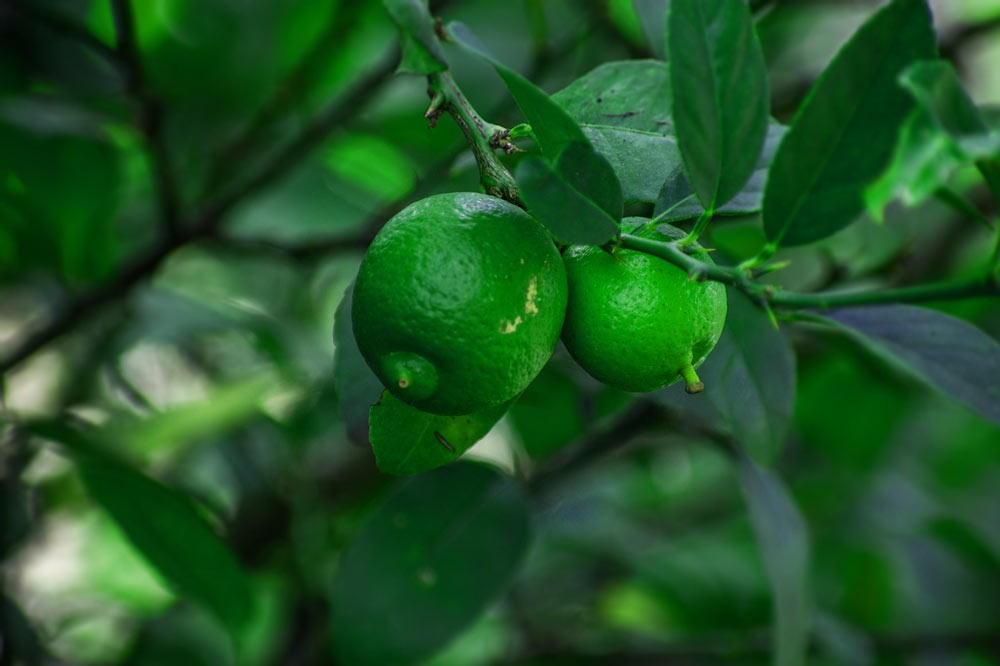 lemon tree citrus fruit plant