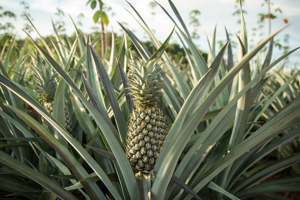 identify fruit plants pineapple plant