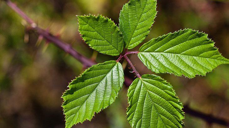 identify fruit plants bramble plant vine
