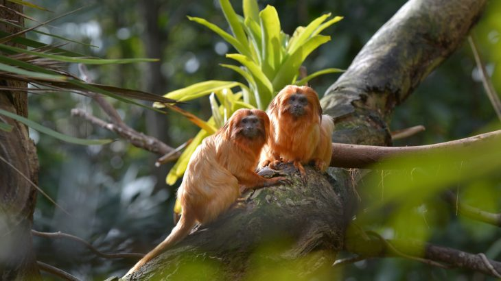 A team of scientists led by the German Primate Center (DPZ) has found that monkeys play a critical role in the regeneration of degraded tropical rainforests.