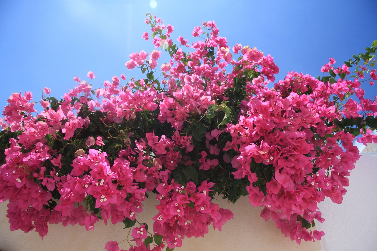 Hawaiian flowers Bougainvillea