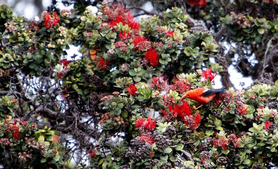 Hawaiian flowers, Ohia lehua