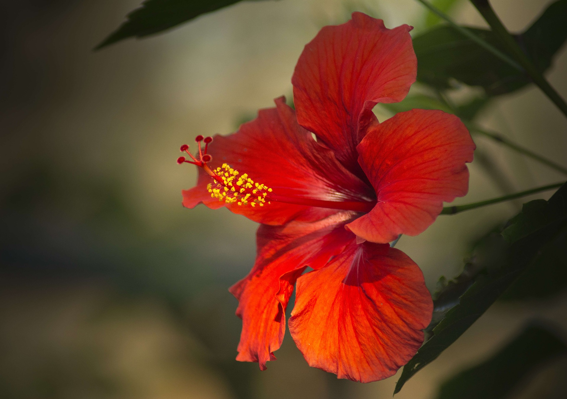 Hawaiian flowers hibiscus